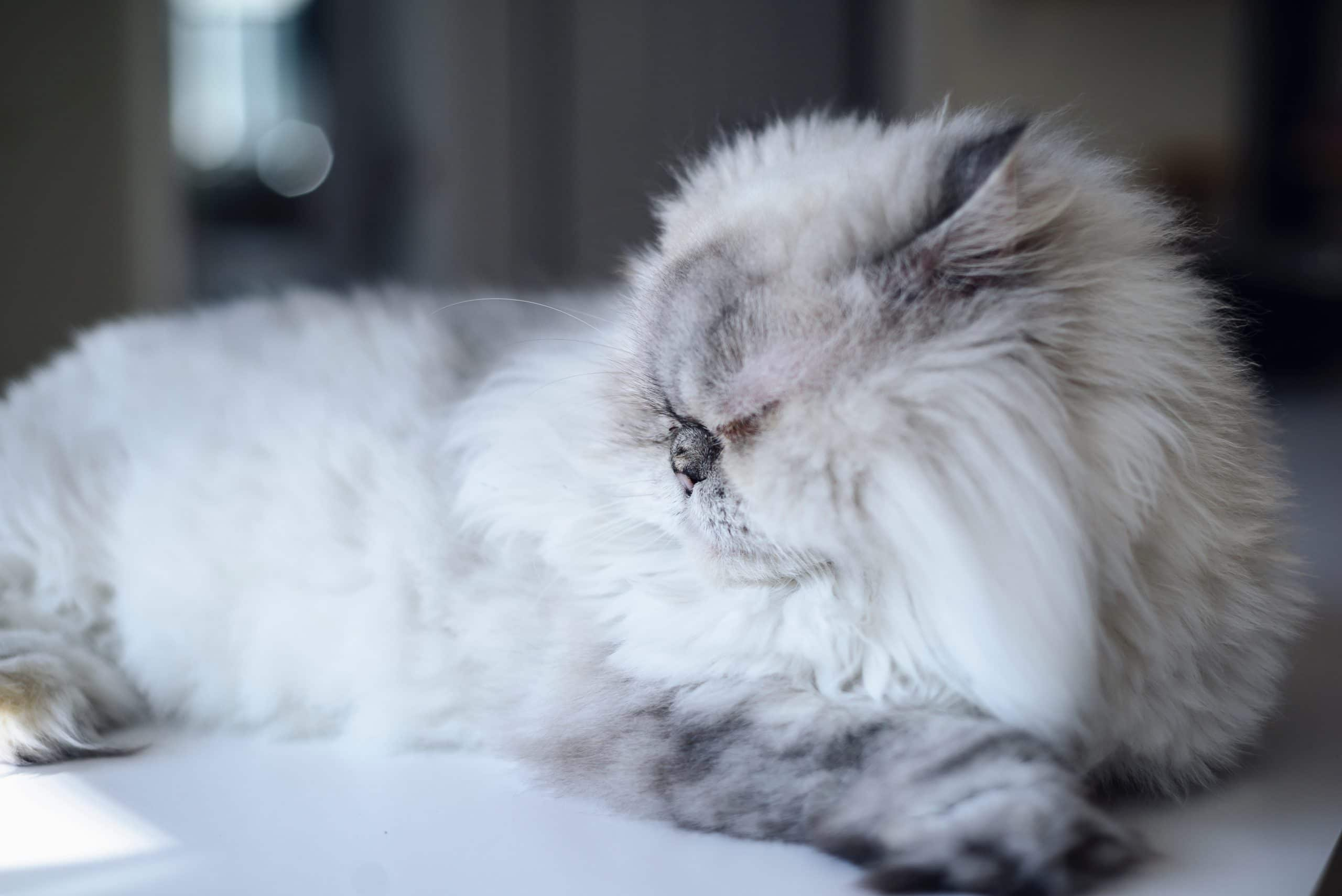 Diabetes is a common medical condition that afflicts older, overweight cats. Diabetes can cause senior cats to drink more water than normal.